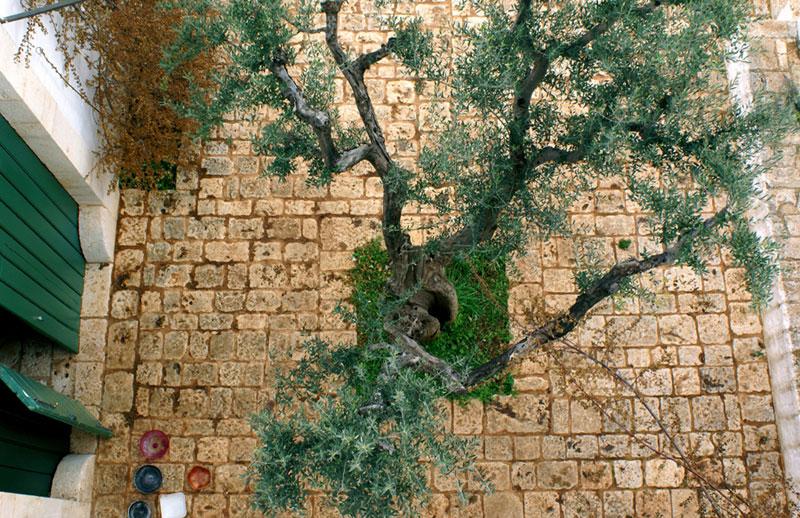 Conversano, Masseria Sacerdote '08, l'olivo e la chianca