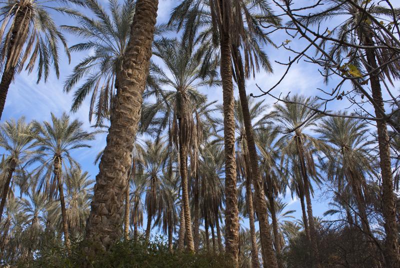 Palmeto nella zona di Tozeur